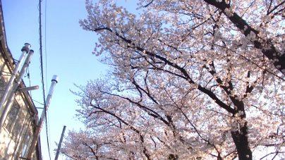 松戸の公園は桜が多いです